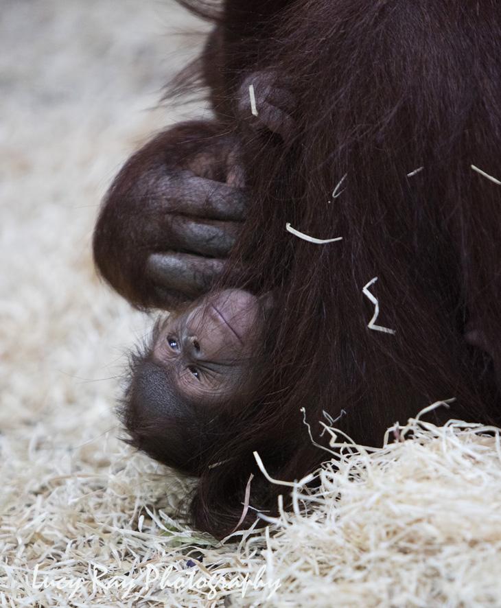 Orangutan Baby14.jpg