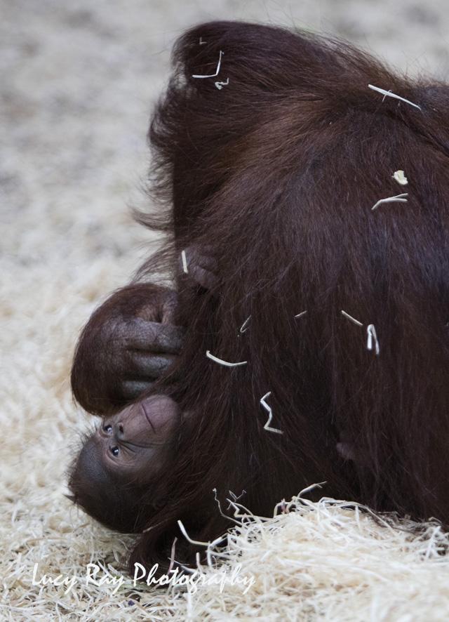 Orangutan Baby16.jpg