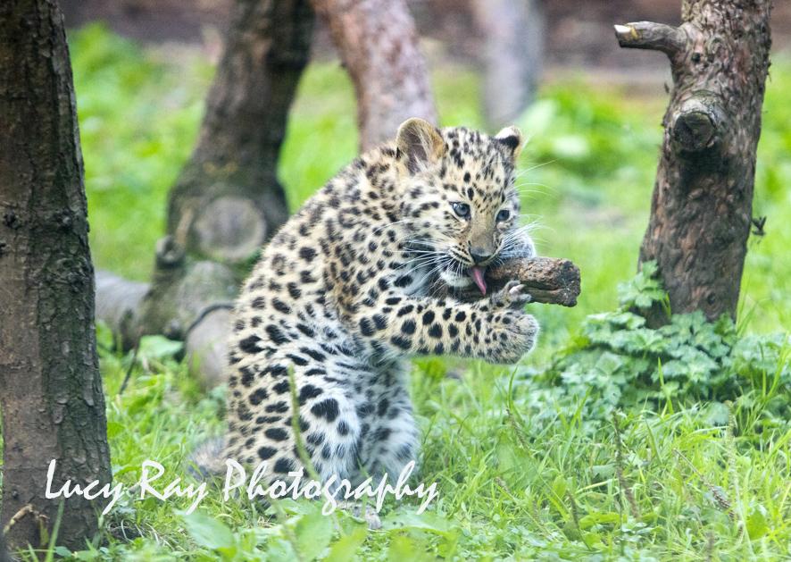 Amur leopard cubs4.jpg