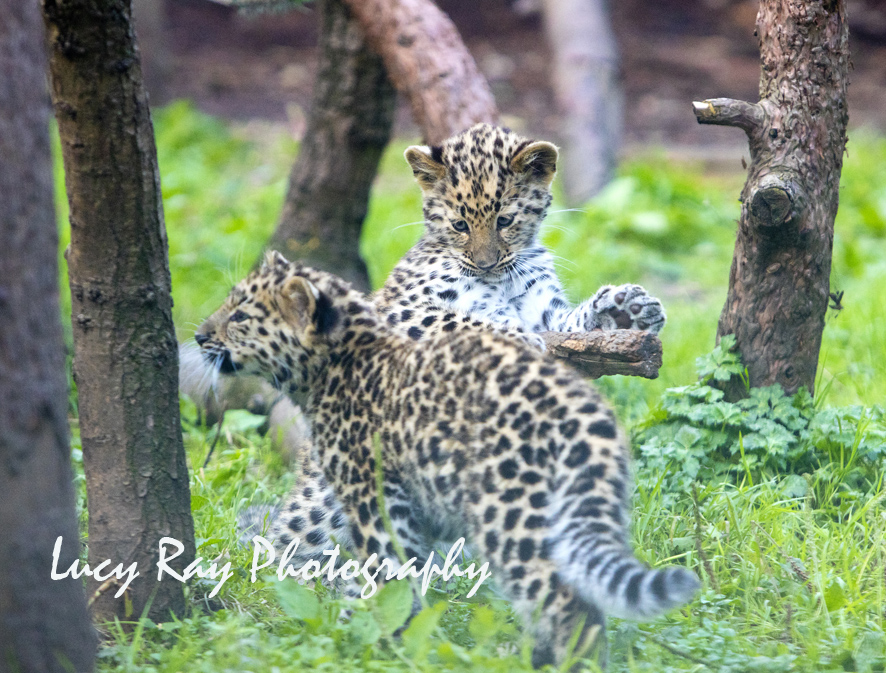 Amur leopard cubs5.jpg