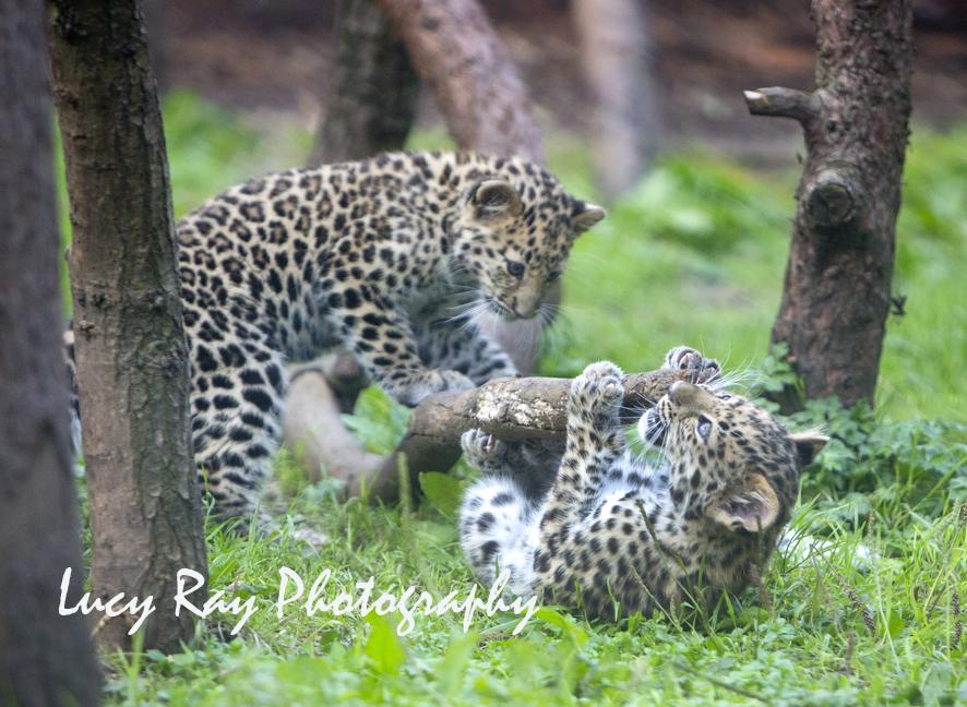 Amur leopard cubs10.jpg