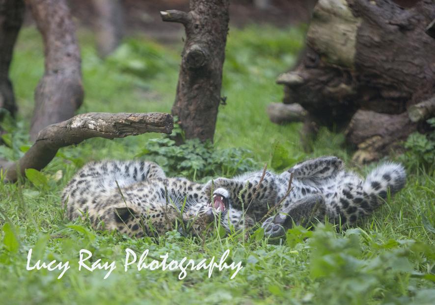 Amur leopard cubs11.jpg