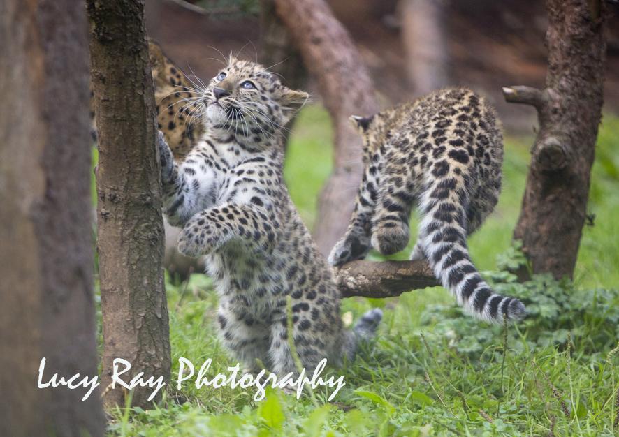 Amur leopard cubs12.jpg
