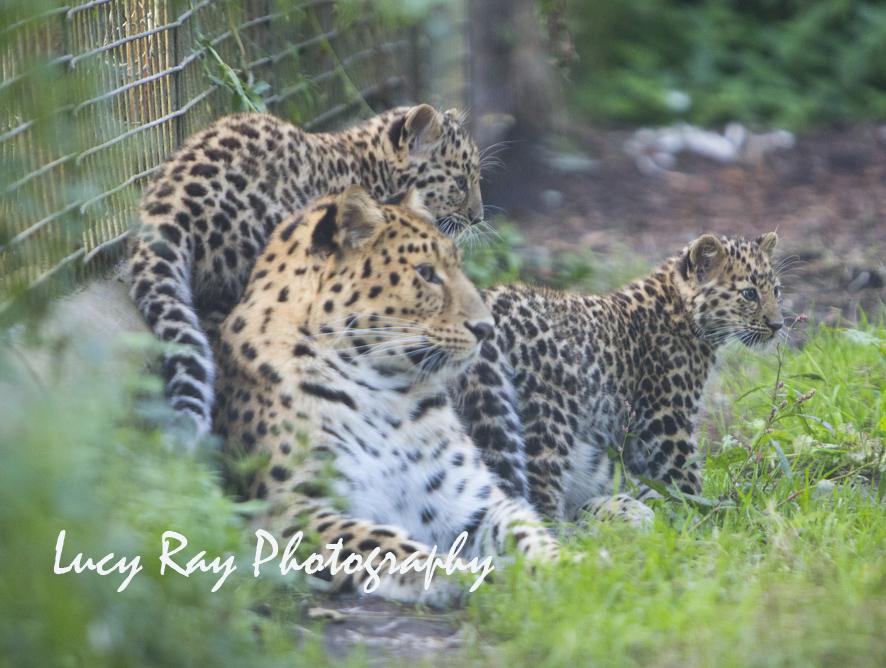 Amur leopard cubs17.jpg