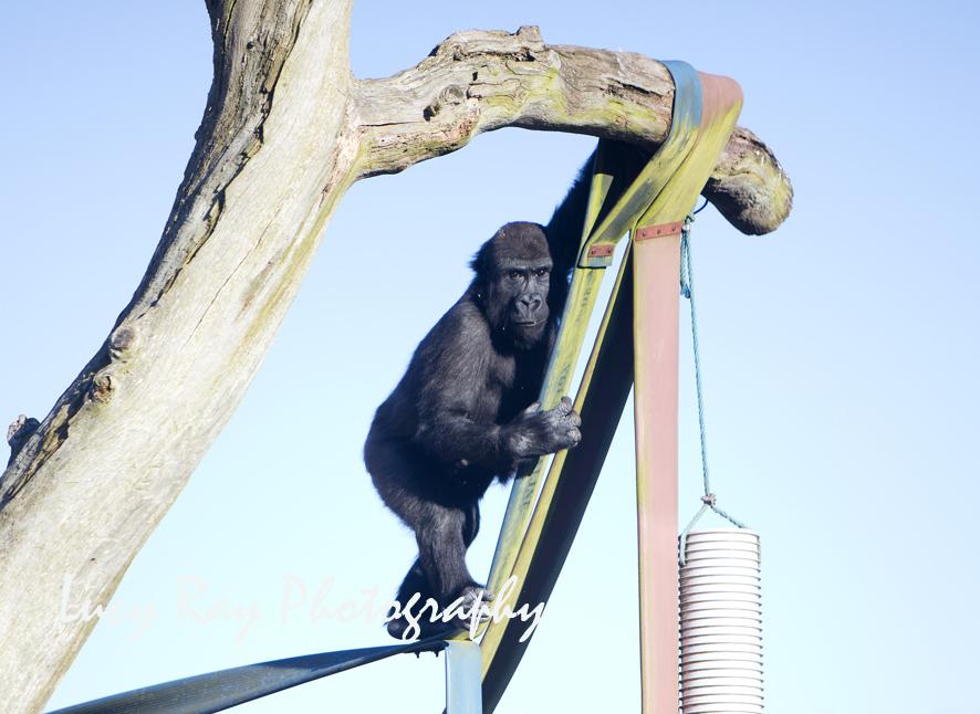 Gorilla Lope4.jpg