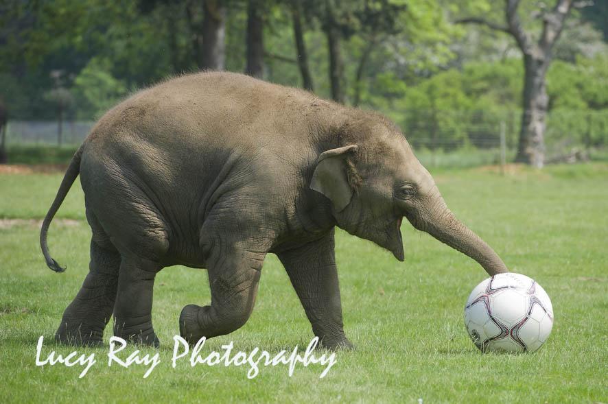 NWS-LRY-ElephantFootball5.jpg