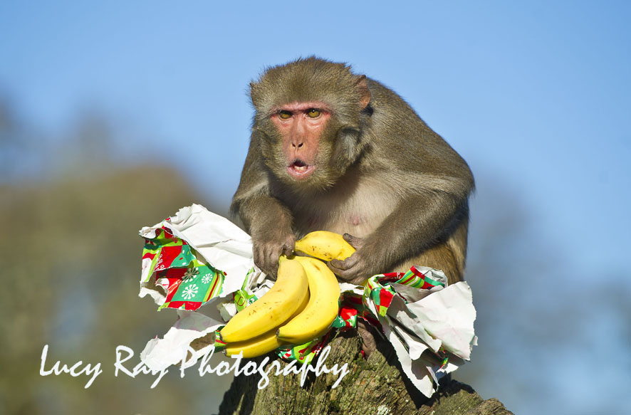 http://www.dailymail.co.uk/news/article-2244979/Monkeys-open-Christmas-presents-Longleat-Safari-Park--dont-look-happy.html