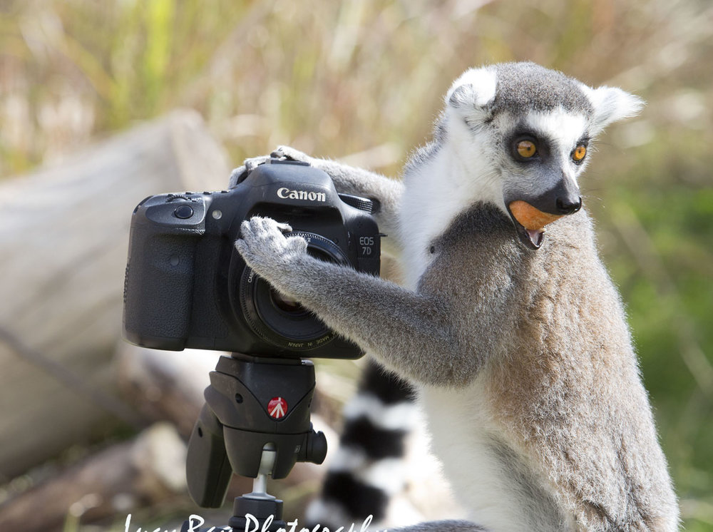 Lemur Photographer2.JPG