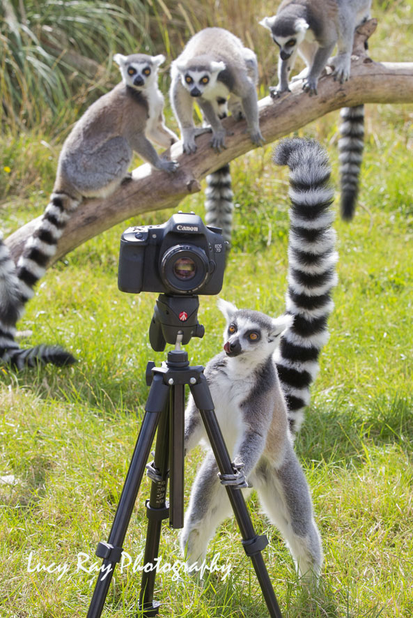 Lemur Photographer3.JPG