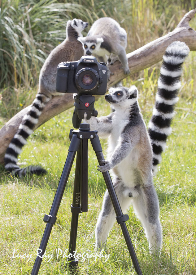 Lemur Photographer4.JPG