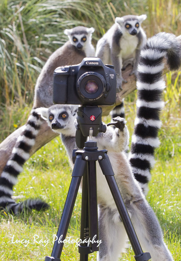 Lemur Photographer5.JPG