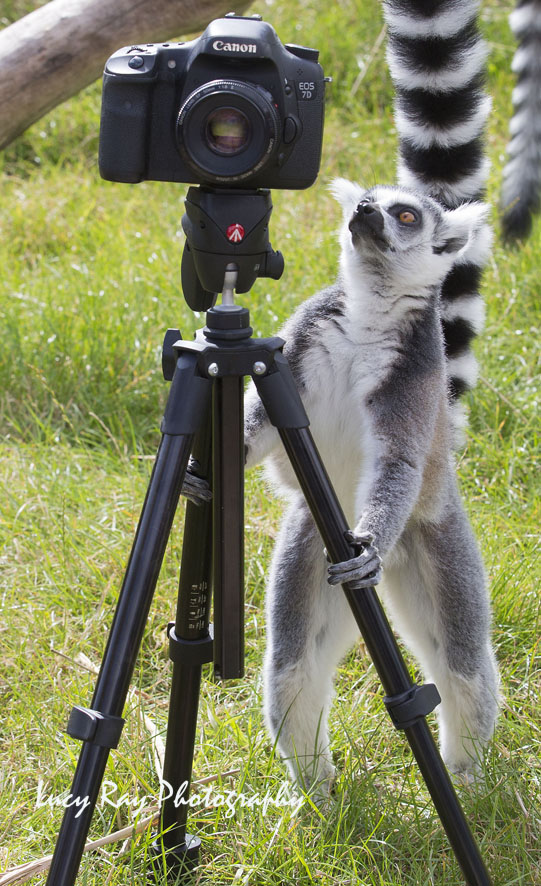 Lemur Photographer8.JPG