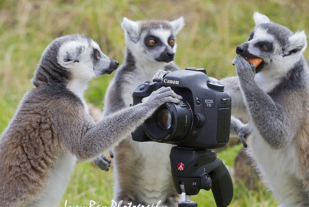 Lemur Photographer10.JPG