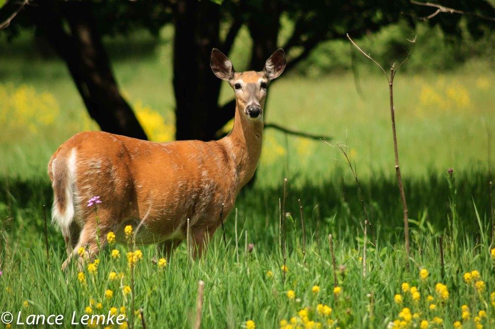 2013-05-26-parkway, deer--010.jpg