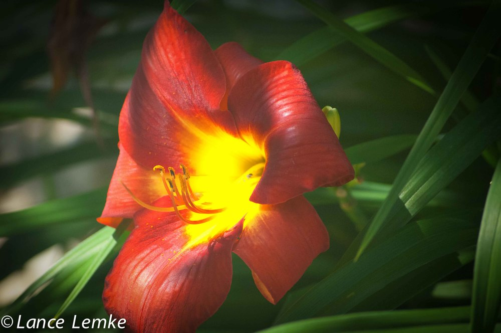 Red/Yellow Day Lily