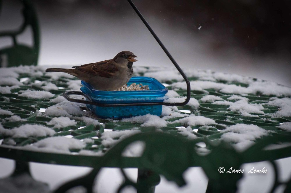 House Sparrow in the Snow.