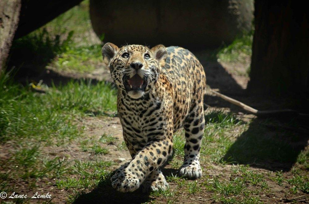 2013-05-15-zoo-shoot-Jaguar-cubs-first-day-out--770-Edit.jpg