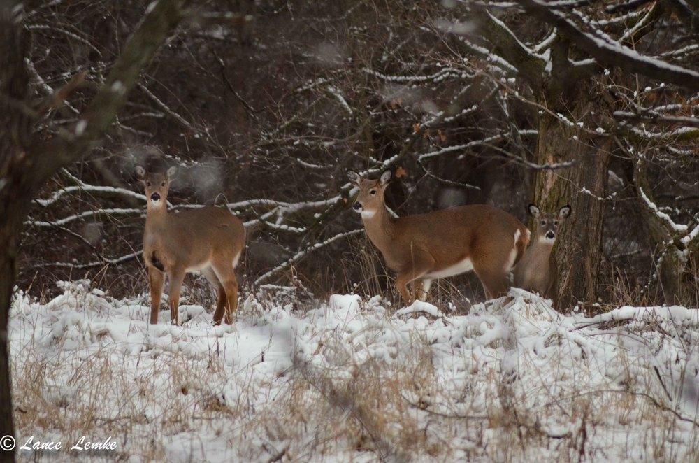 Three deer in Whitnall Park.