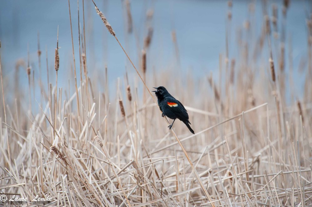 Red Wing Blackbird, Shot with Nikon D3, with 300mm 2.8 lens and 2X teleconverter.