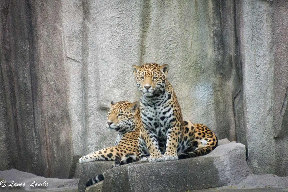 Taken with Nikon J1 V2, and F1 adapter with Nikon 70-300mm Zoom. Jaguar Cub's at The Milwaukee County Zoo.