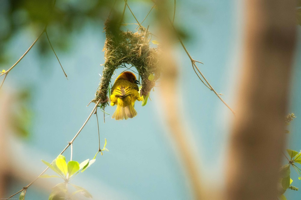Taveta Golden Weaver nest building.