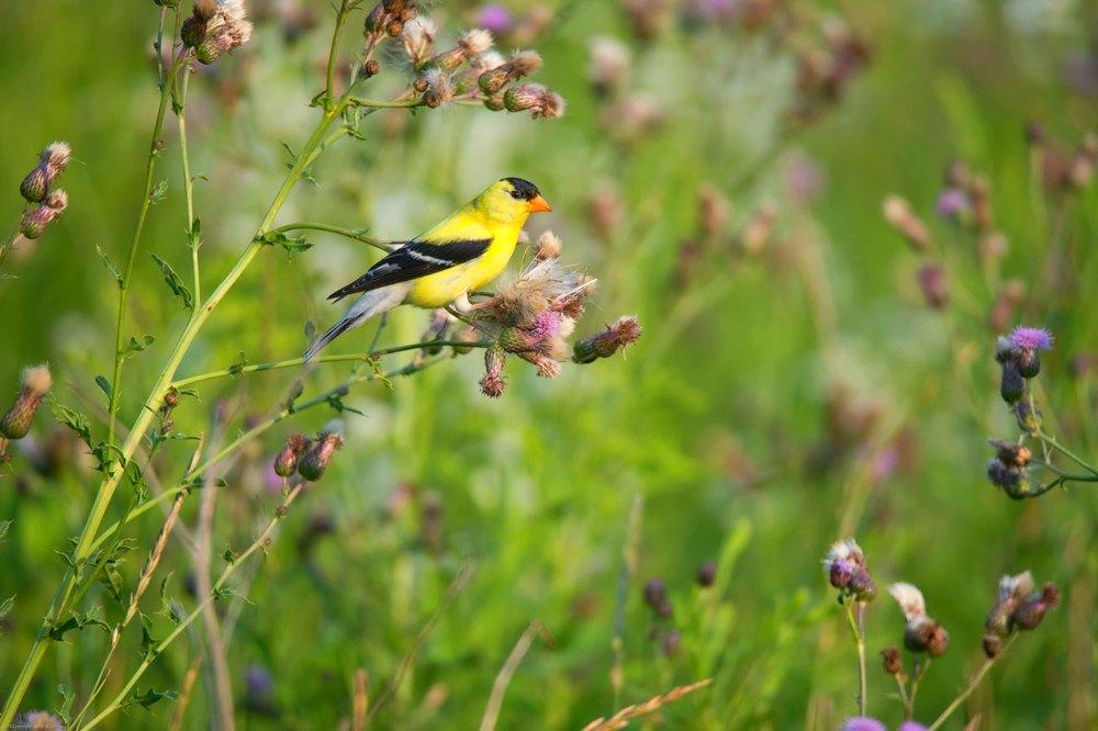 Yellow Chickadee