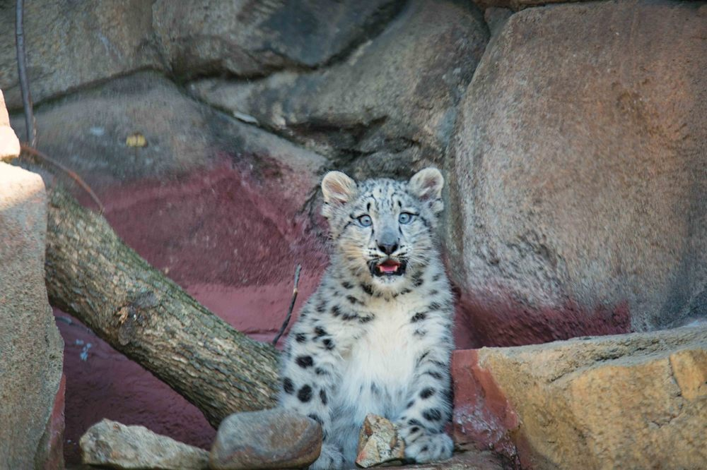 Sossy, New Snow Leopard Cub at the Milwaukee county Zoo.