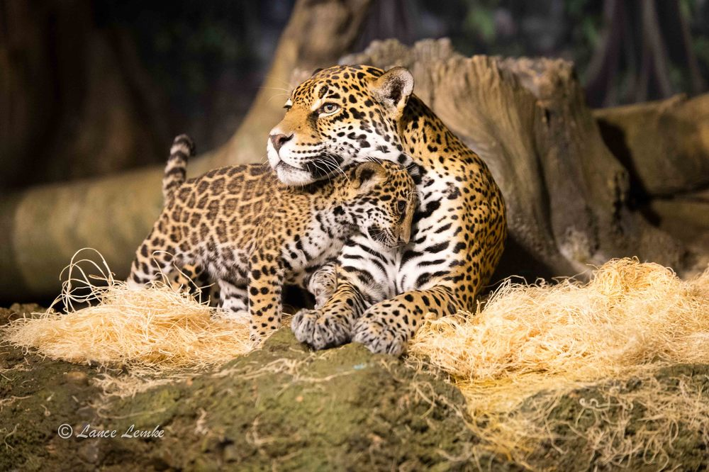 Stella and her three month old cubs @ Milwaukee County Zoo