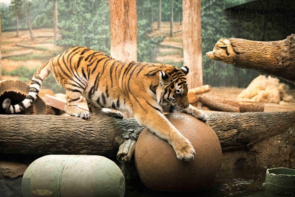 amur tiger.jpg.
