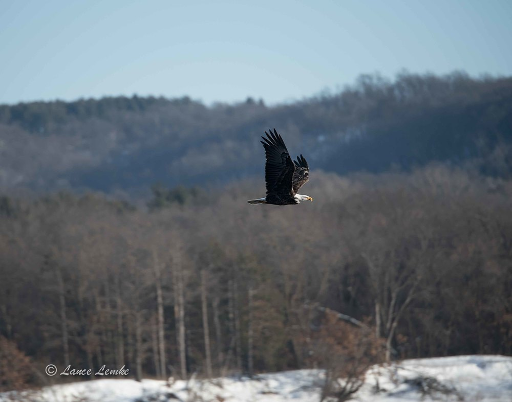 Bald Eagle Fly By.