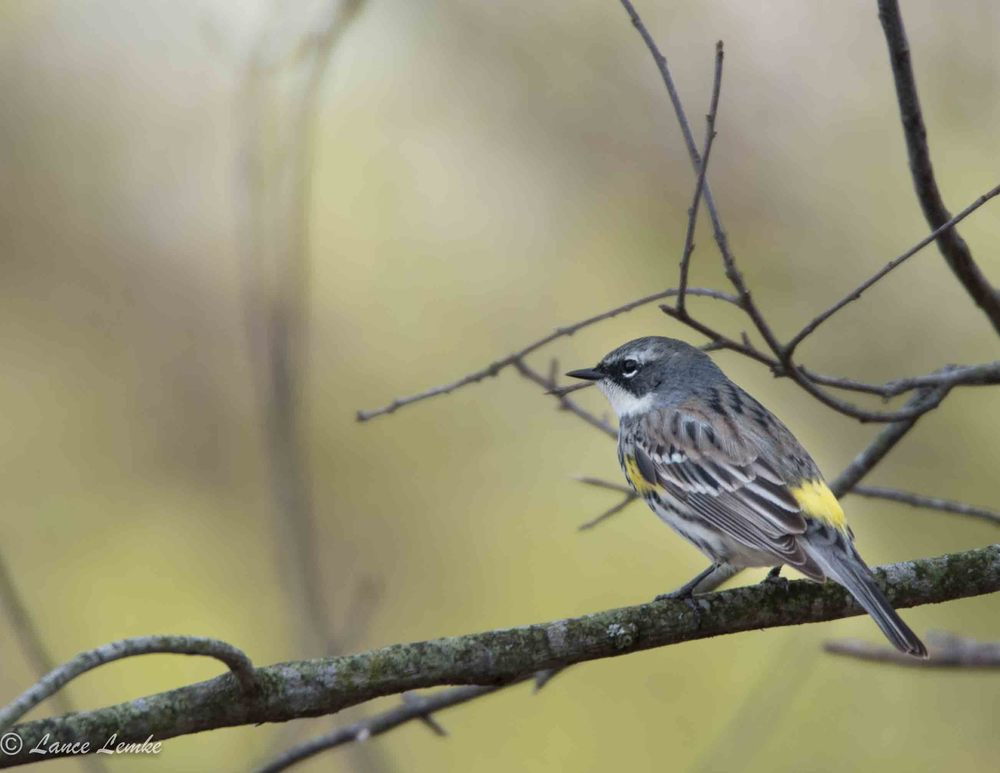 Yellow-rumped Warbler Taken with Nikon D750 and Tamron 150-600mm Zoom