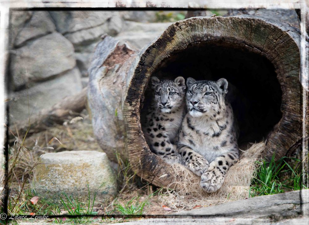 Snow Leopard, Mother, Son Portart