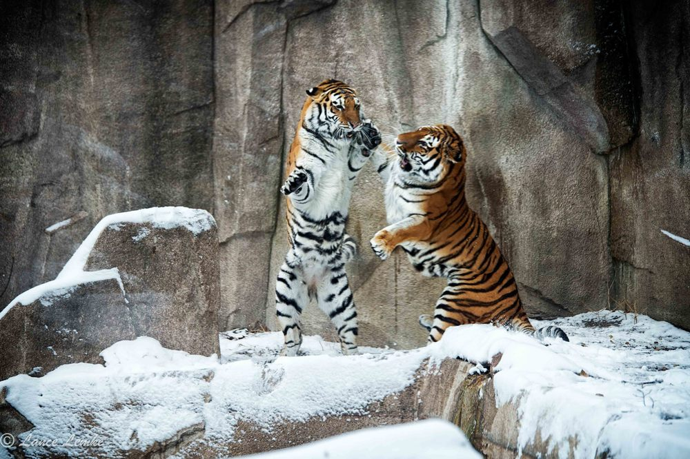 Female Amur Tigers, Mock Fight