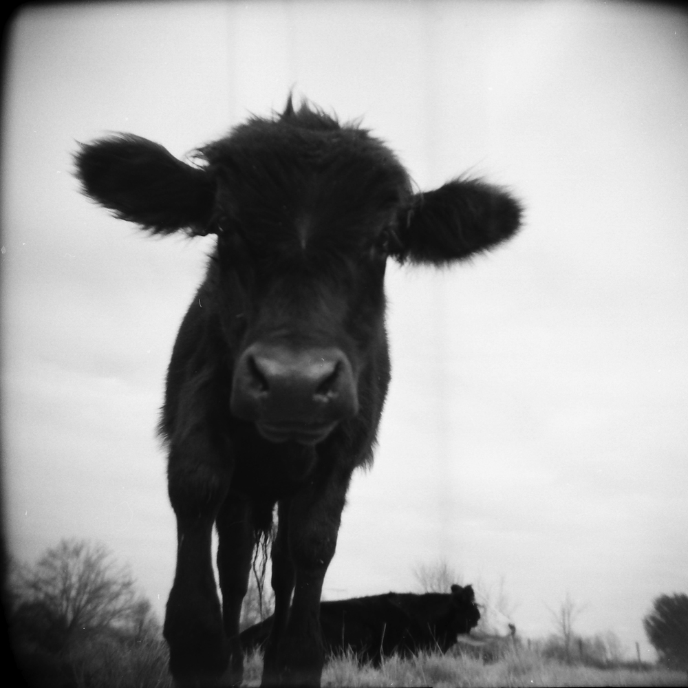 cow portrait_1.jpg