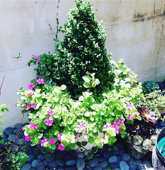 It's spring time San Antonio! Time to plant those annuals and pray they make it through the summer! 🙏🏼🤞🏼#boxwoodsfordays 🌳  #wsd #interiors #exteriordesign #interiordesign