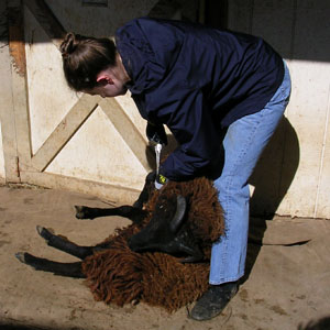 shearing2.jpg