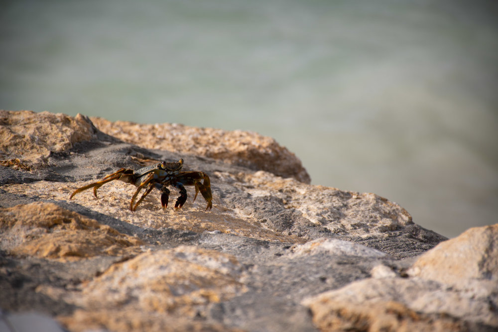 Live Crab on rocks in Antigua and Barbuda
