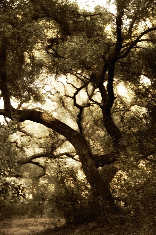 Daley tree sepia.jpg