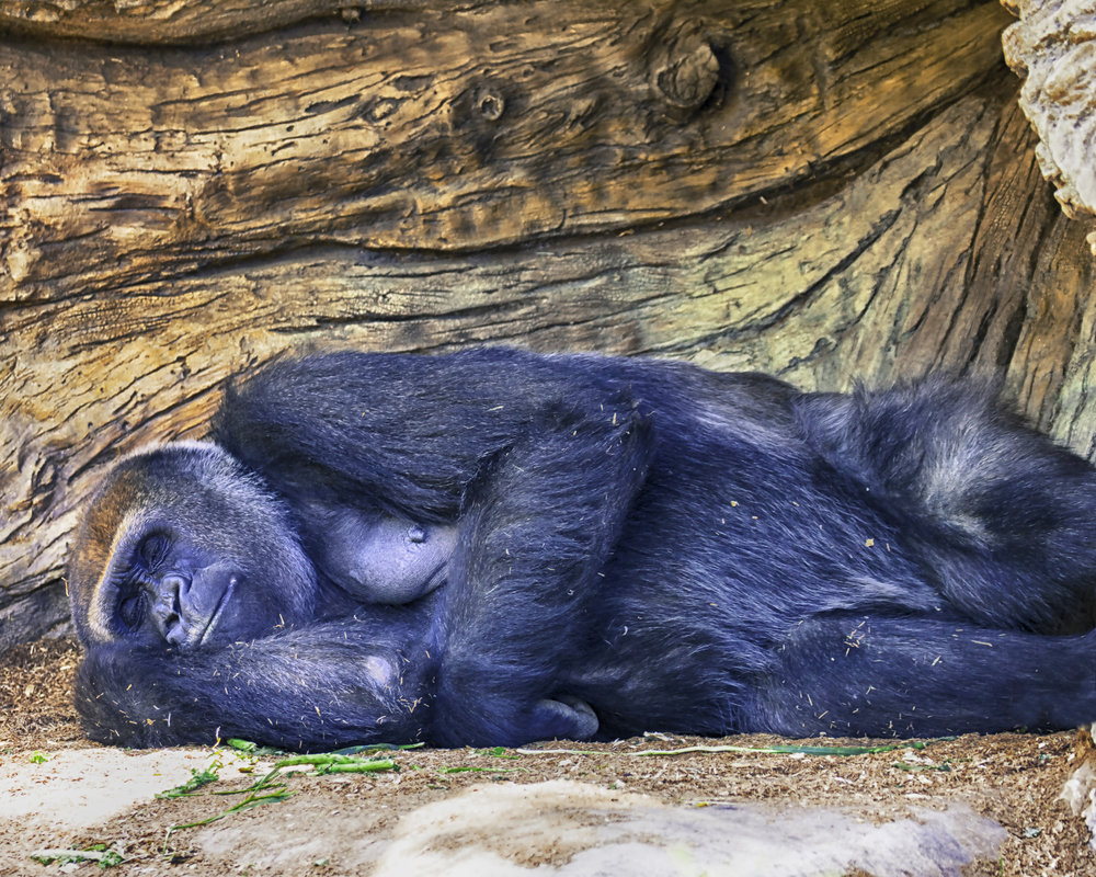 Gorilla sleeping for canvas.jpg