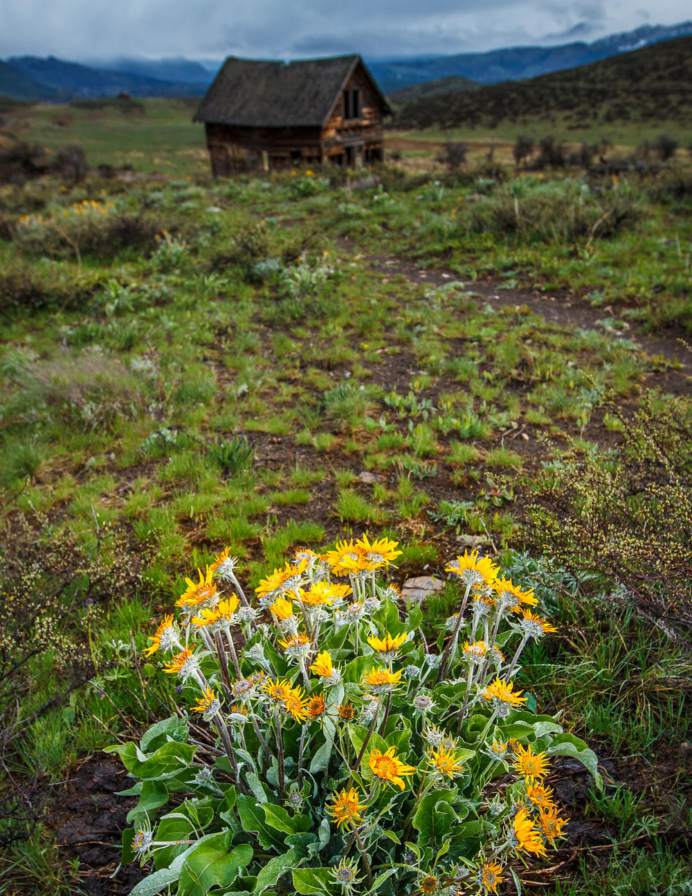 Balsamroot Bloom