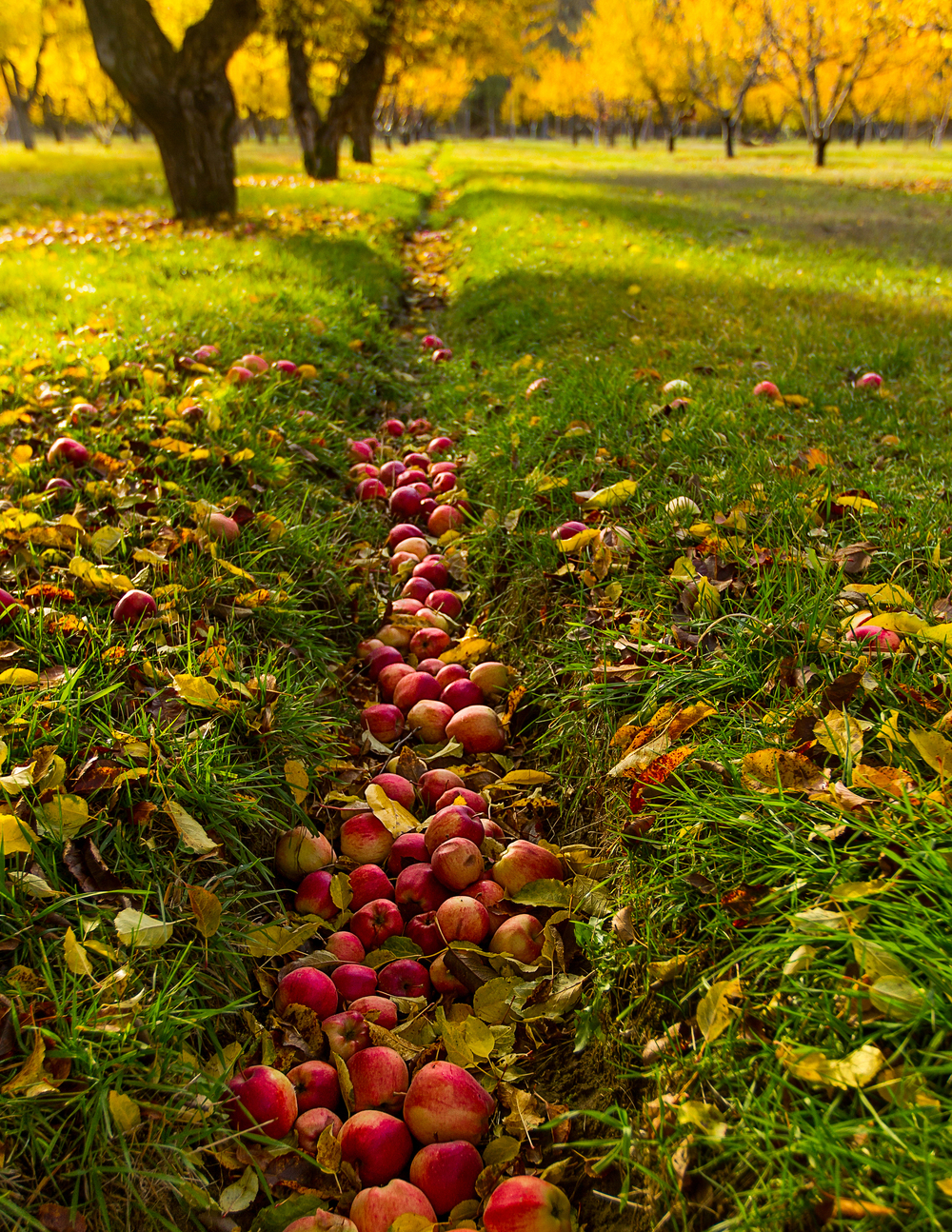 Buckner Orchard