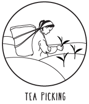 tea-picking.png