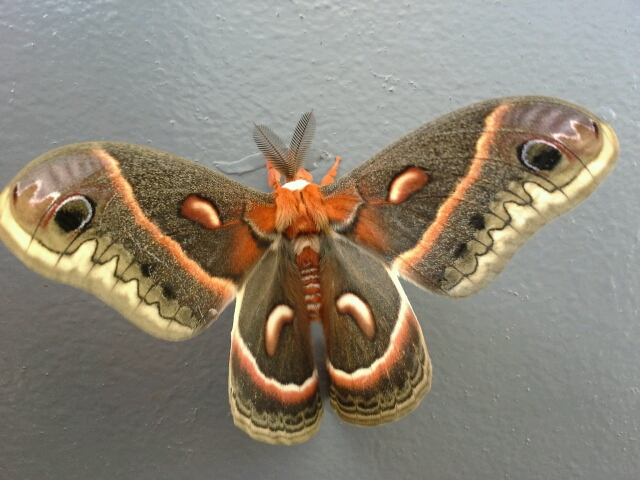 Cecropia Moth. Photo credit: Hayat Qurunful
