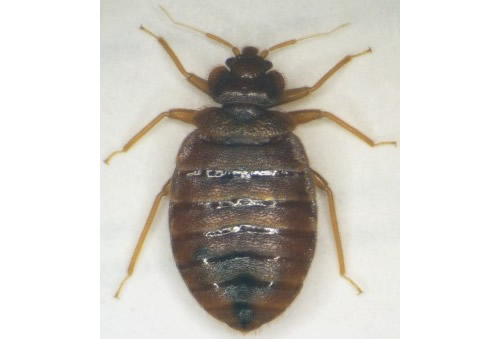 Bed bug. Photo credit: Oklahoma State University.