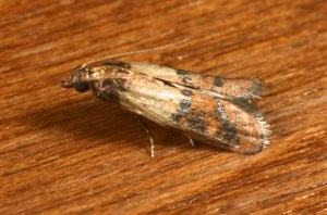 Indianmeal moth. Photo Credit: Mike Merchant, Texas A&M AgriLife Extension.