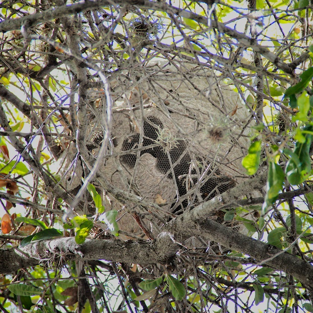 Mexican Honey Wasp Nest