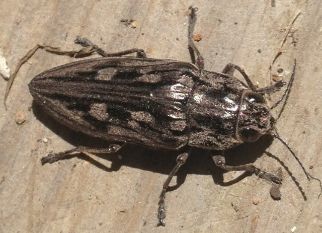 Metallic Wood-Boring Beetle