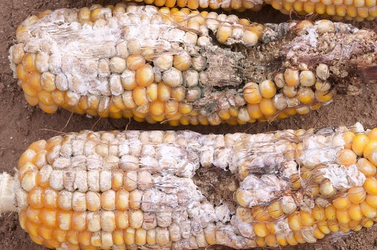 Typical fall armyworm damage to corn ears. The larvae consume many kernels and then the fungi move in and infect many more.