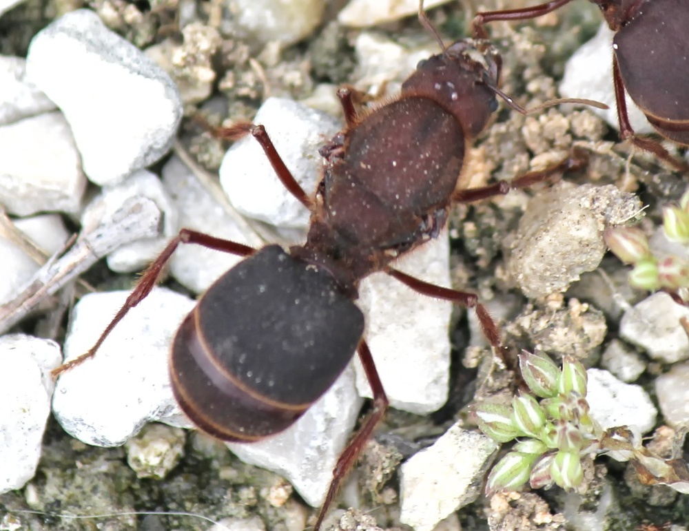 Adult Texas leafcutting ant after the wings have fallen off.