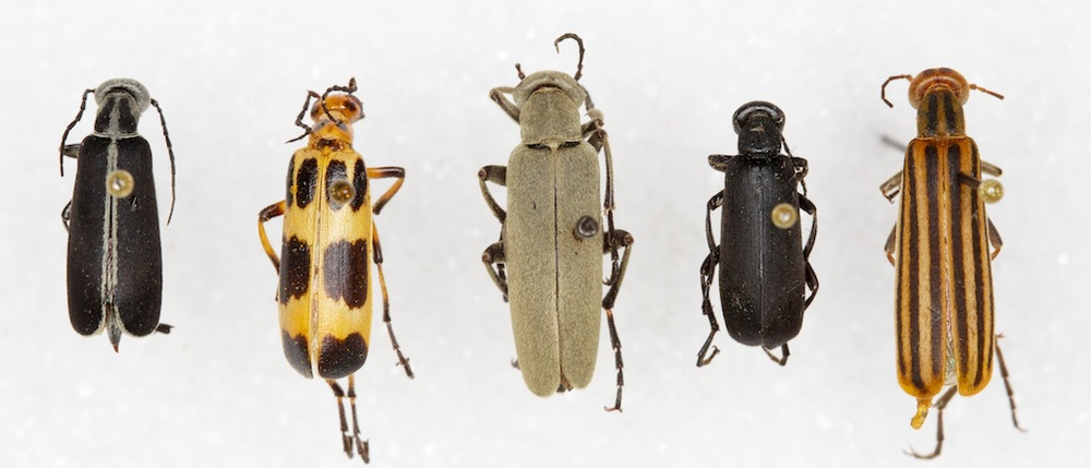 Common blister beetle species